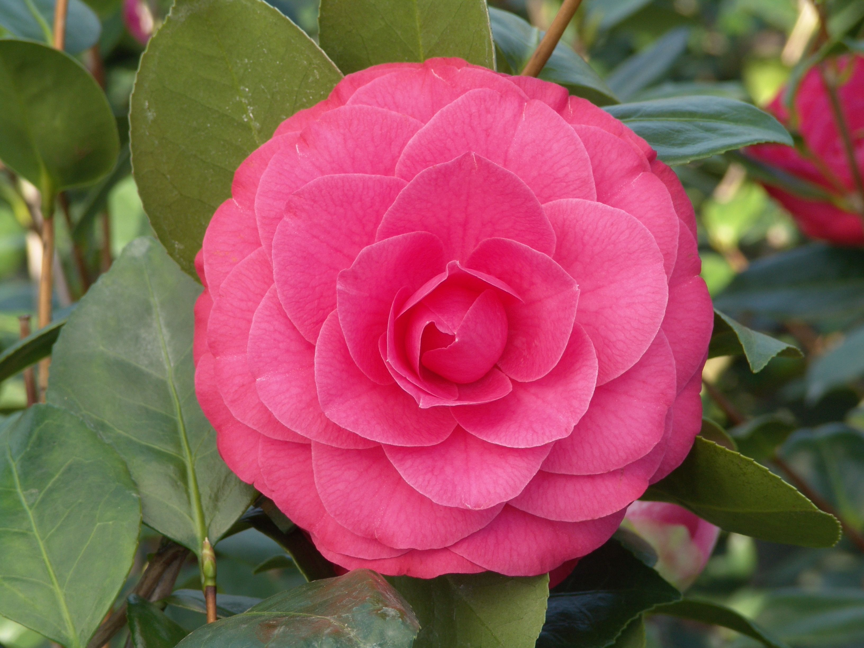 Camellia flowering shrub