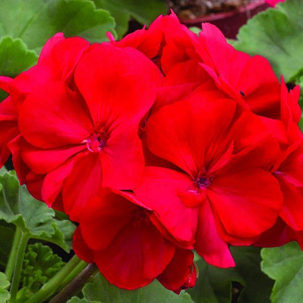 Geranium Zonal Candy Red