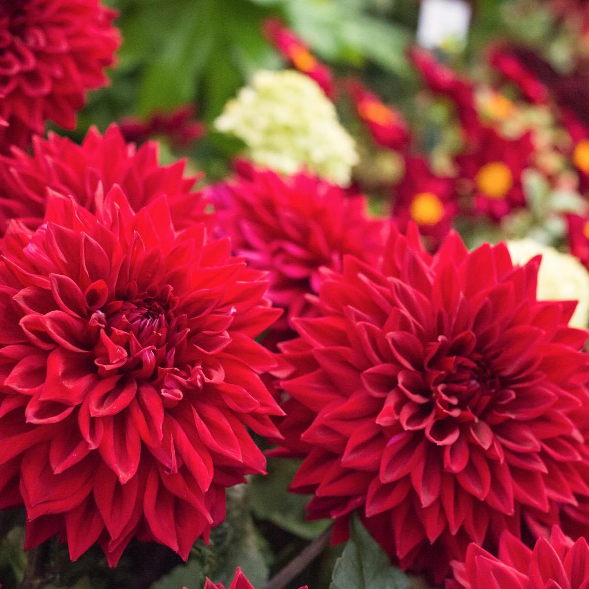 Red dahlias