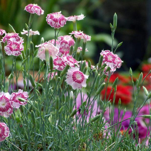 Perennials Dianthus Lionheart