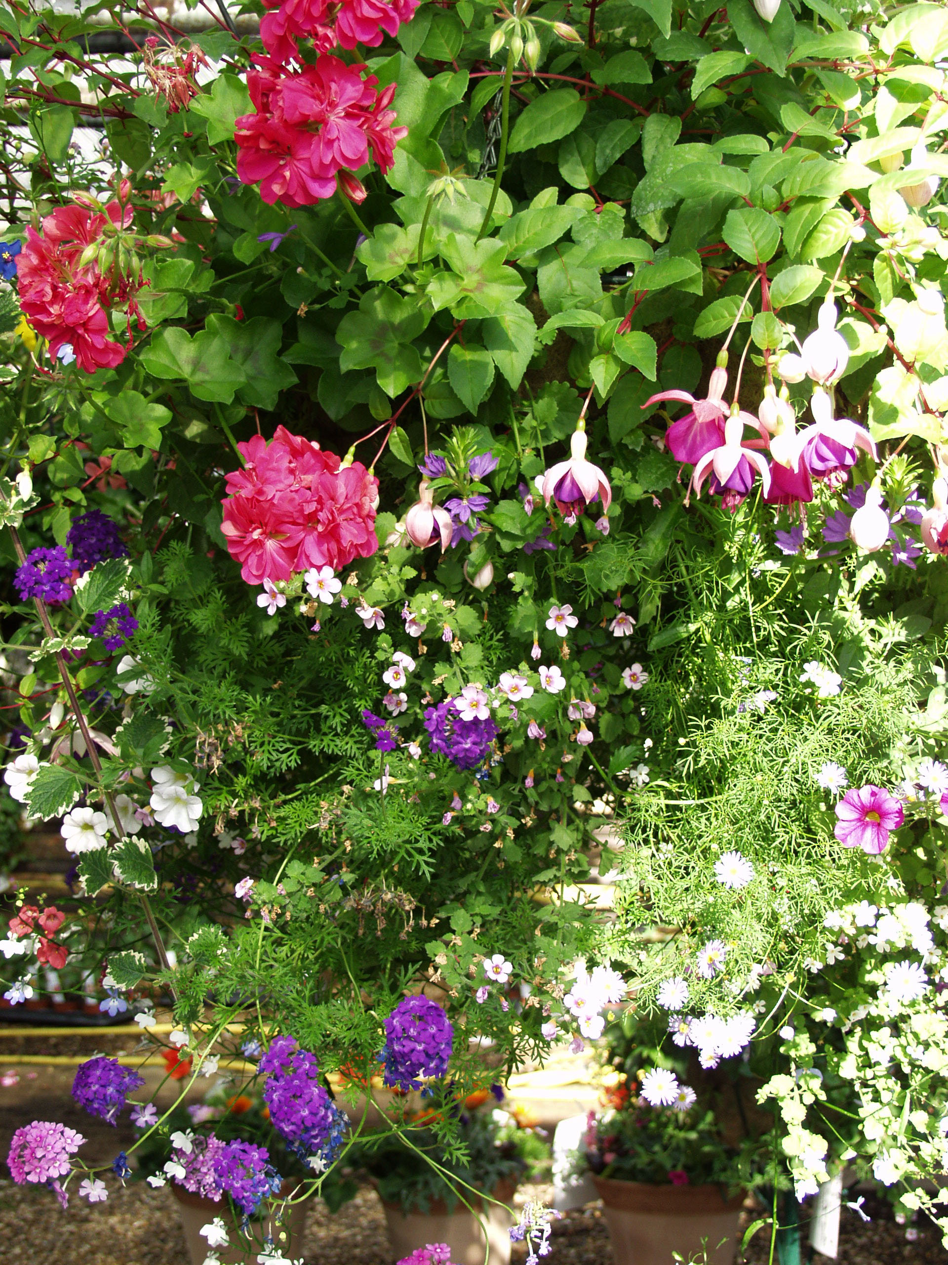 hanging baskets aylett nurseries visit ayletts garden centre for all your gardening needs. Black Bedroom Furniture Sets. Home Design Ideas