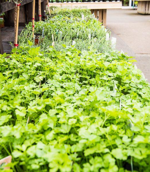 Bench of fresh Herbs