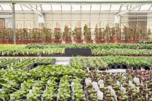 Aylett's fuchsia nursery