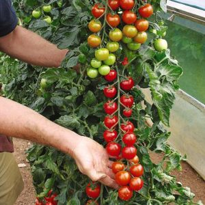 grafted-tomatoes-training-supporting-toby2