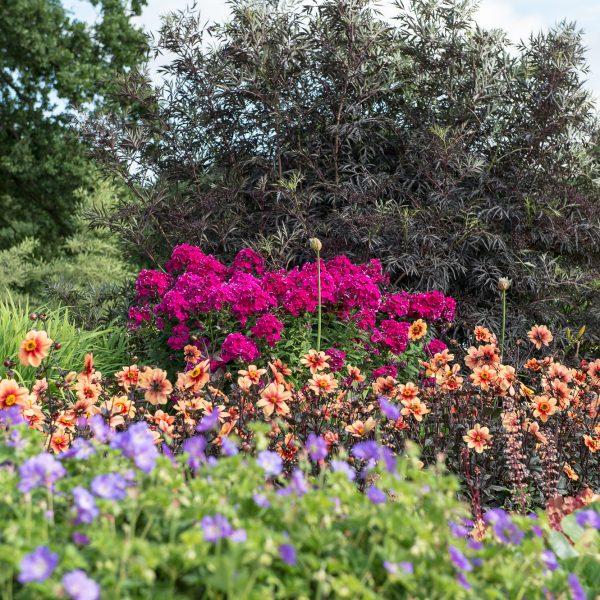 Dahlia Moonfire with the pink Phlox and blue Geranium