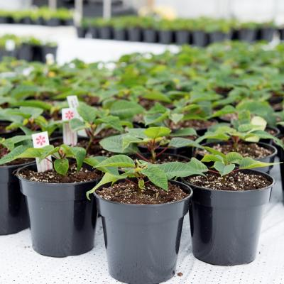Young Poinsettia crop