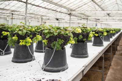 Hanging Baskets being grown on in the greenhouse