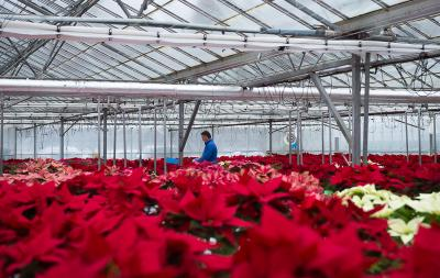 poinsettia-crop-2017-with-paul