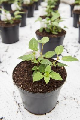 Young Fuchsia Plants