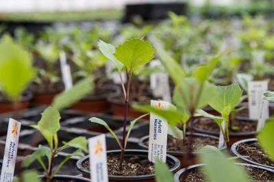 Young Dahlia plants